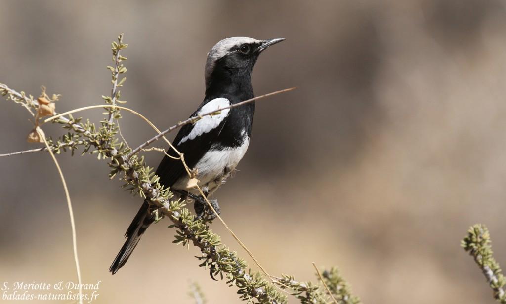 wheatear-mountain-spitzkoppe (3)balades-naturalistes