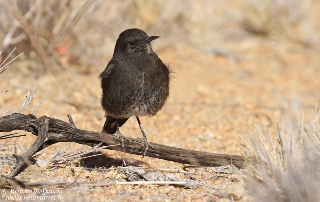 wheatear-mountain-spitzkoppe (9)balades-naturalistes