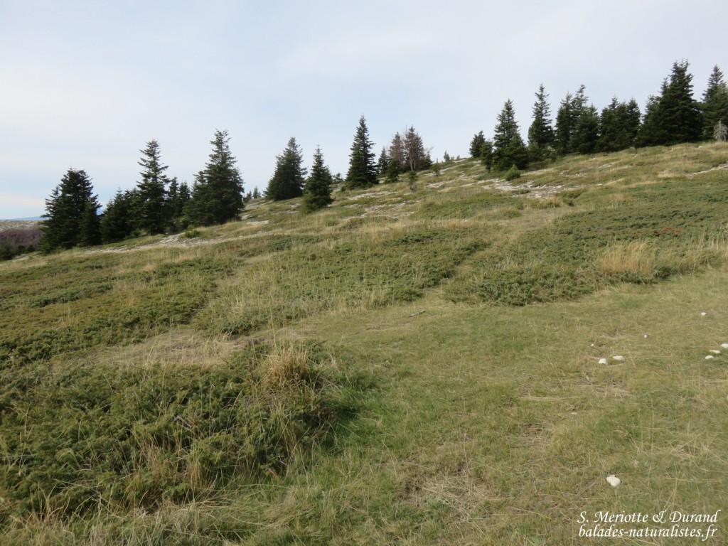 Montagne de Lure, genévriers nains