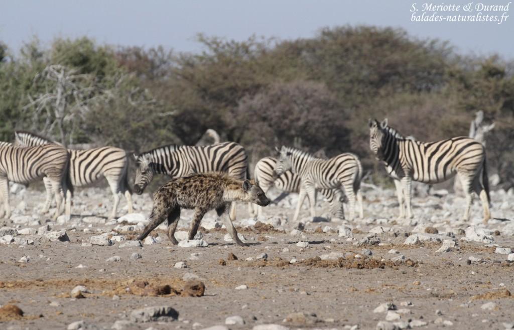 Hyène tachetée, Etosha