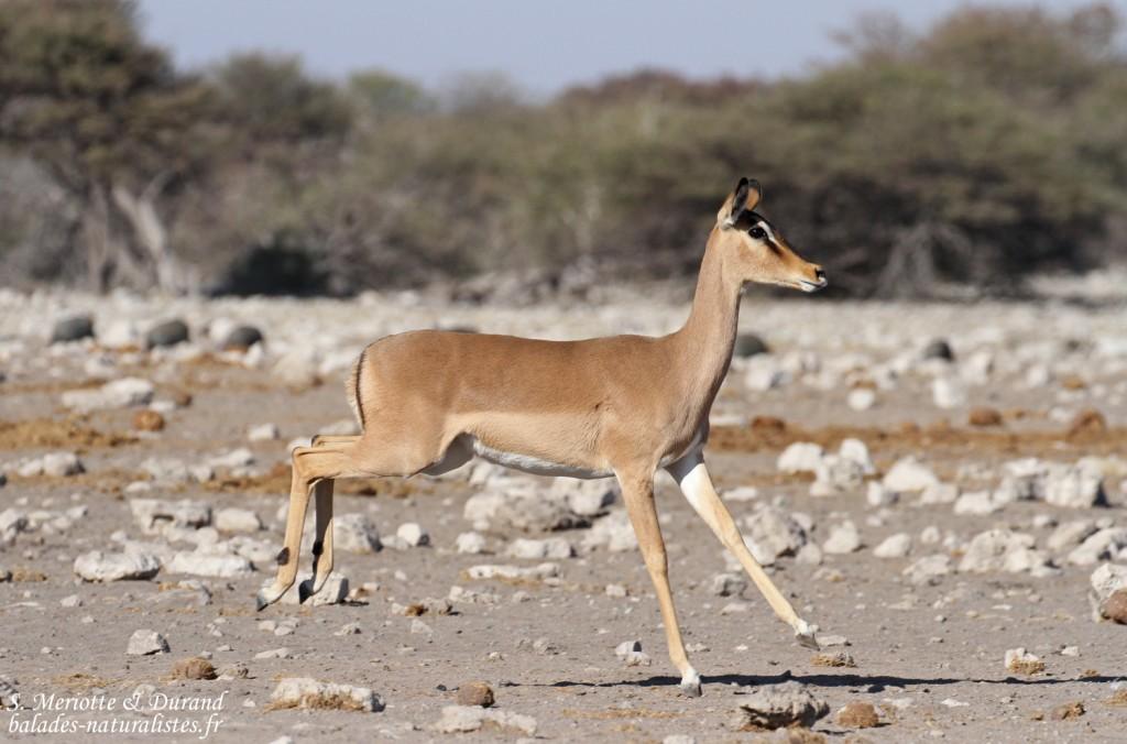 Impala à face noire, Etosha