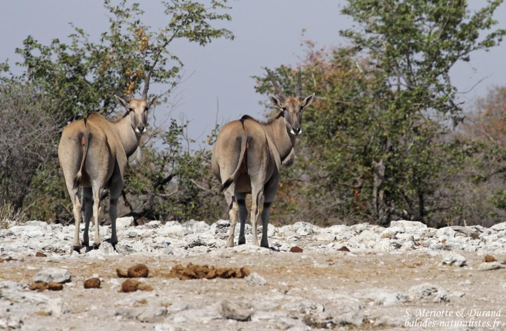 Eland du Cap, Etosha
