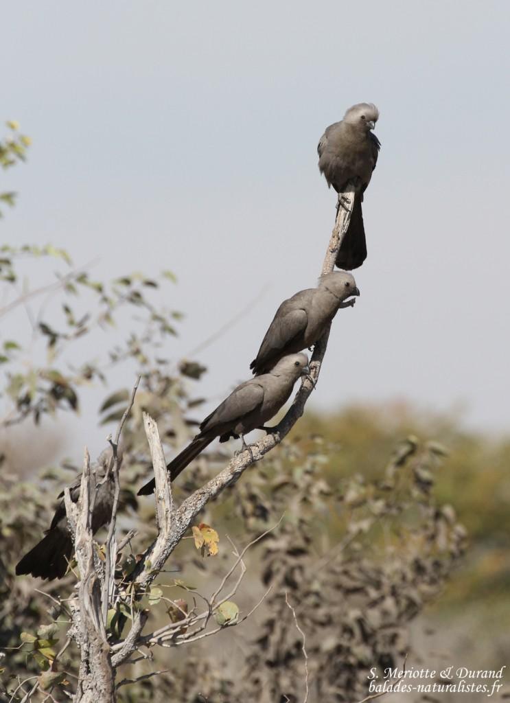 etosha (17)go-away-bird-touraco-concolore