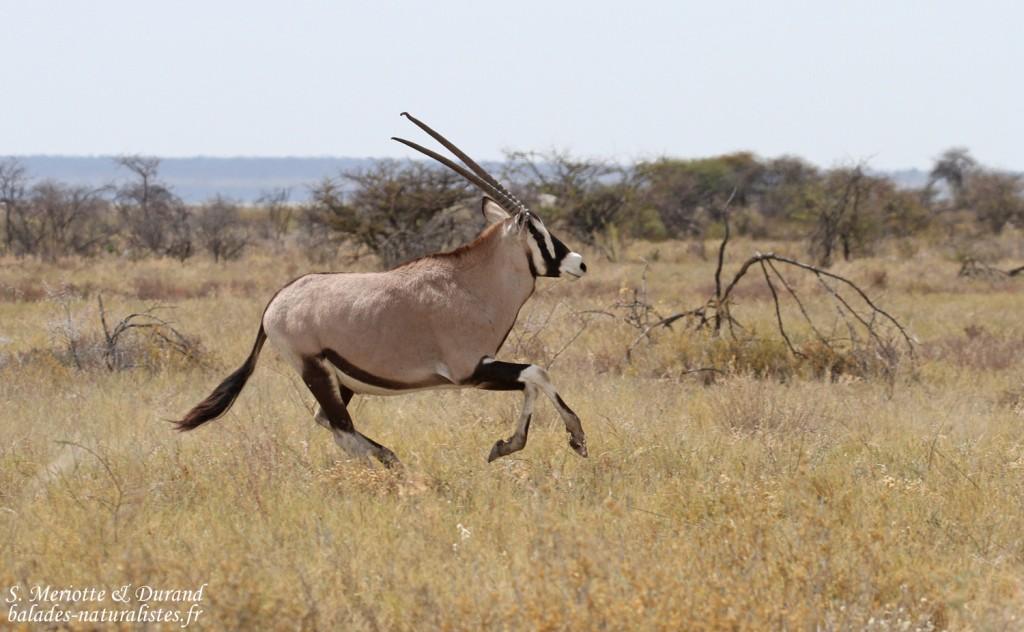 Oryx, Etosha