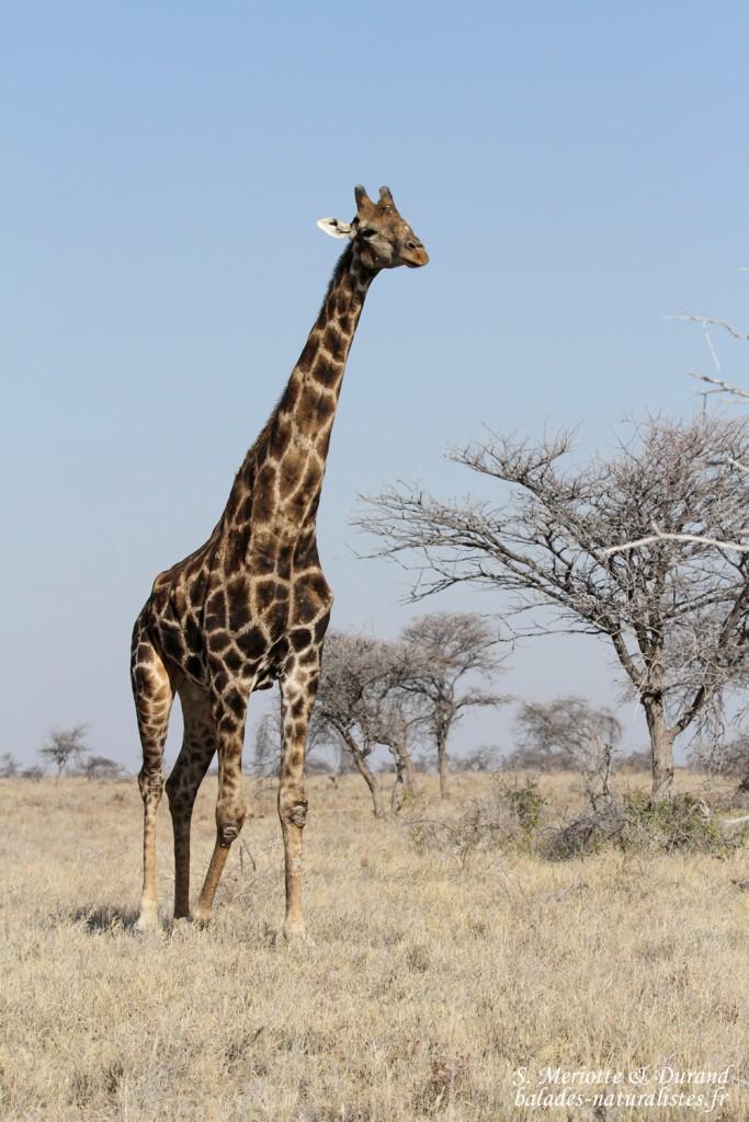 Girafe, Etosha