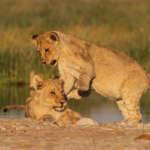 Etosha – Jour 4 : Festival de Lions