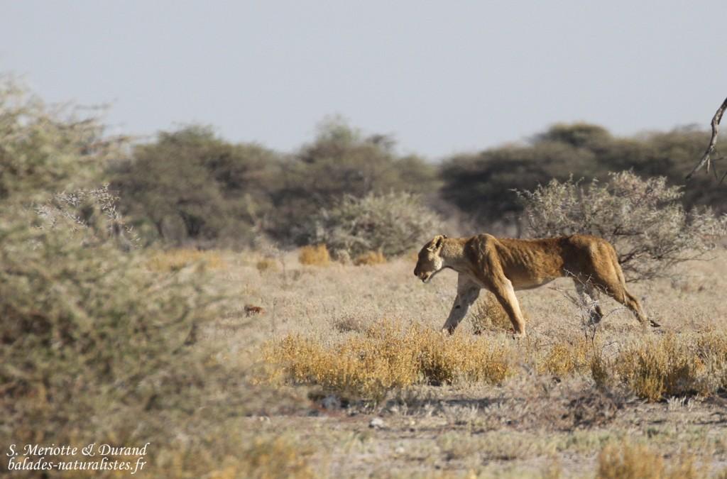 Lionne près de Namutoni, Etosha