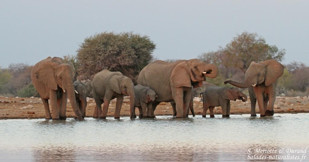 Eléphants près de Namutoni, Etosha