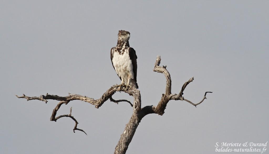 Aigle martial à la sortie du parc d'Etosha