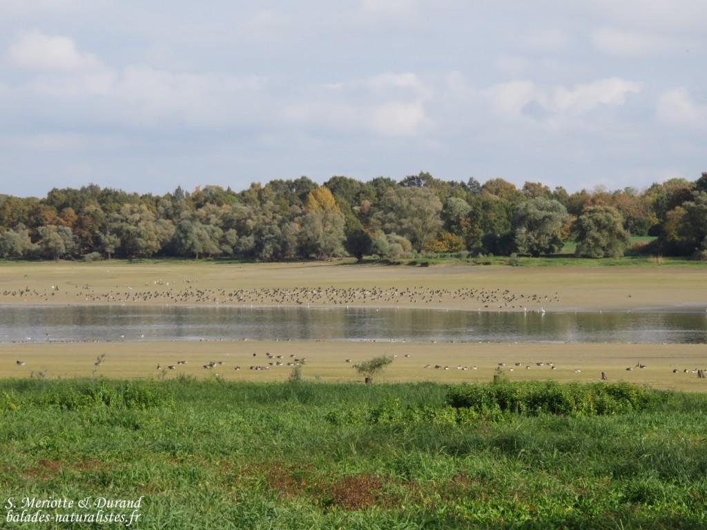 Zone de quiétude près de Champaubert, Lac du Der