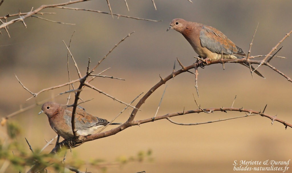 Tourterelles maillées, Rundu