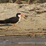 Shakawe, les oiseaux de l'Okavango – suite