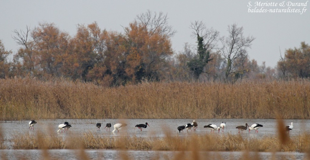 Cigognes noires et blanches sur le marais du Mas d'Agon