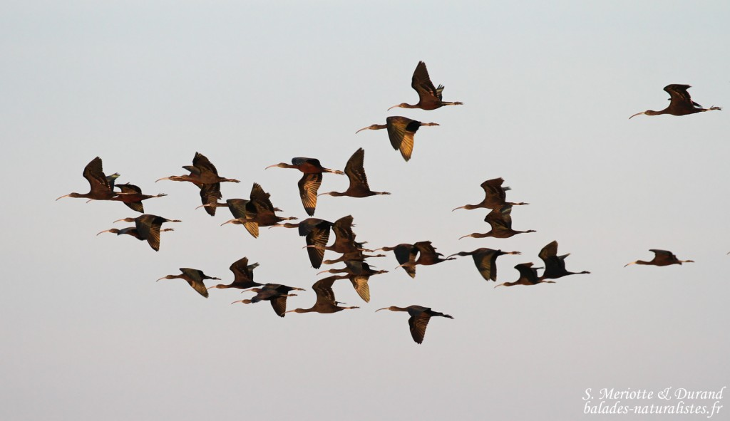 Ibis falcinelles, Marais du Mas d'Agon