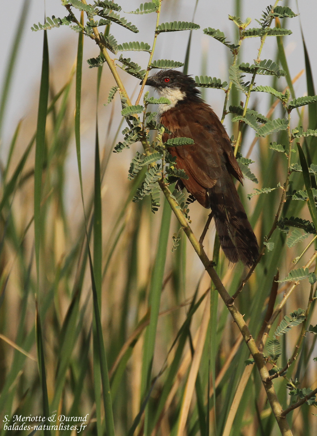 Coucal du Sénégal, Djoudj