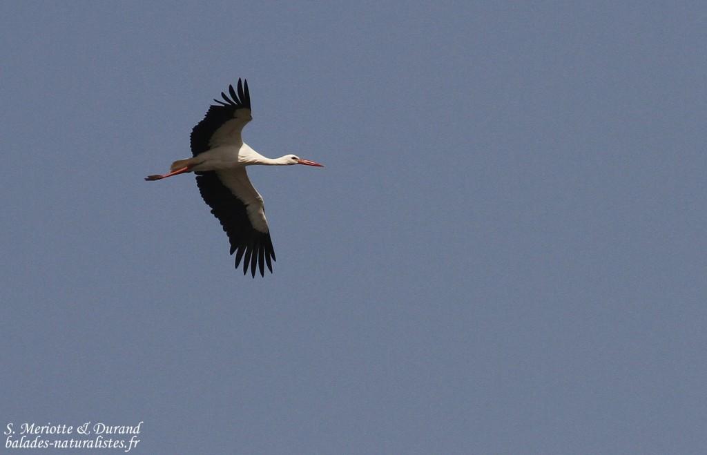 Cigogne blanche, lac de Gainth, Djoudj