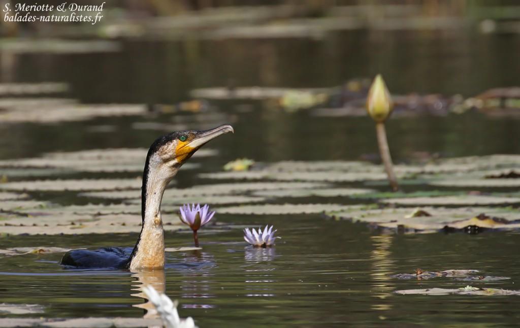 Cormoran à poitrine blanche, lac de Gainth, Djoudj