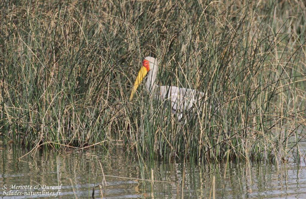 djoudj (29)tantale-ibis
