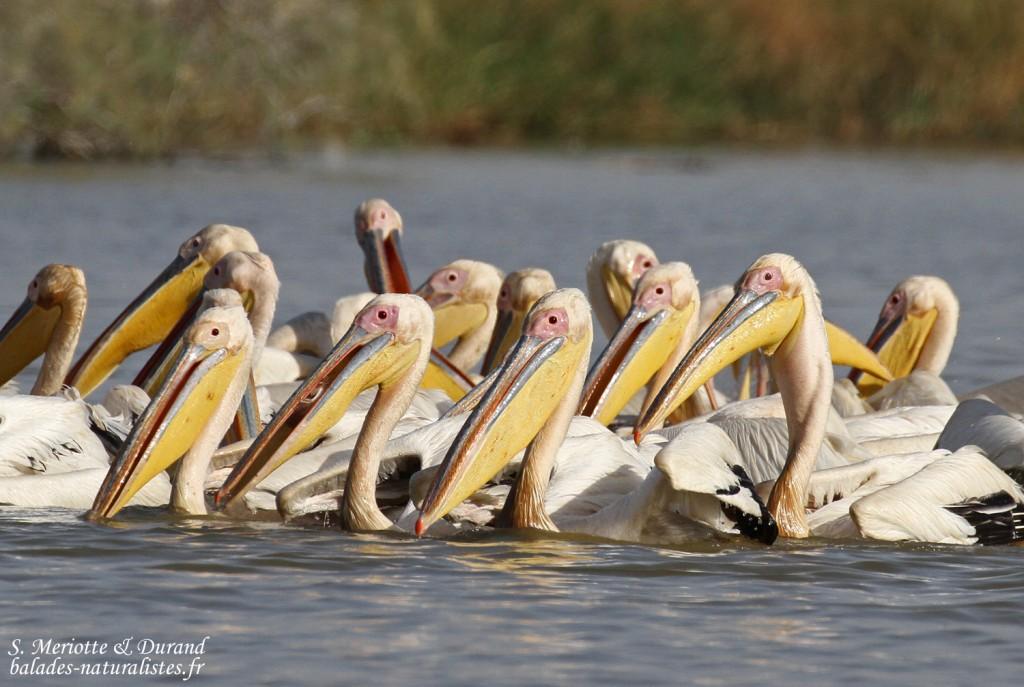 Pélicans blancs, Djoudj