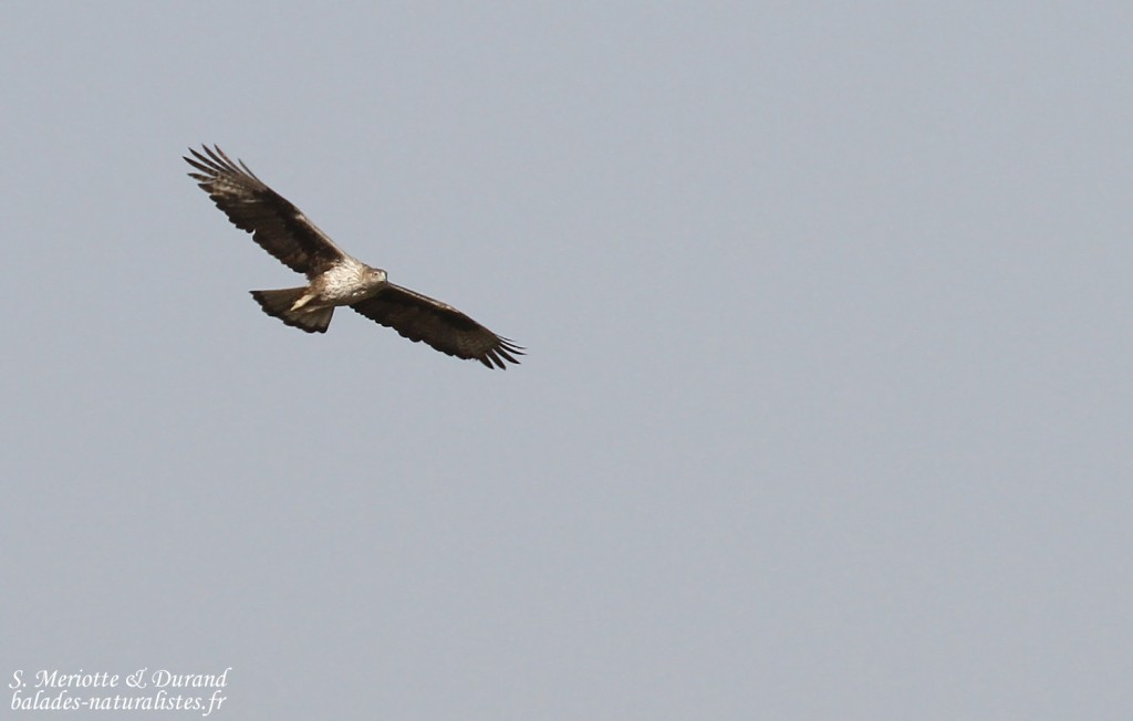 Aigle de Bonelli femelle adulte, Djoudj