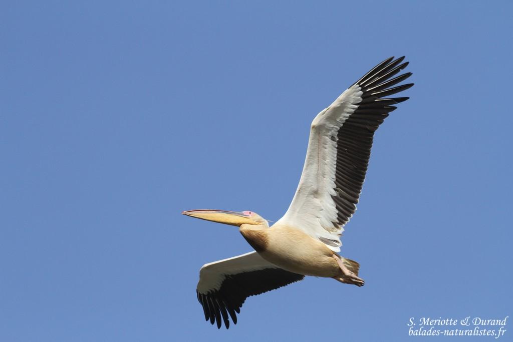 Pélican blanc, Djoudj