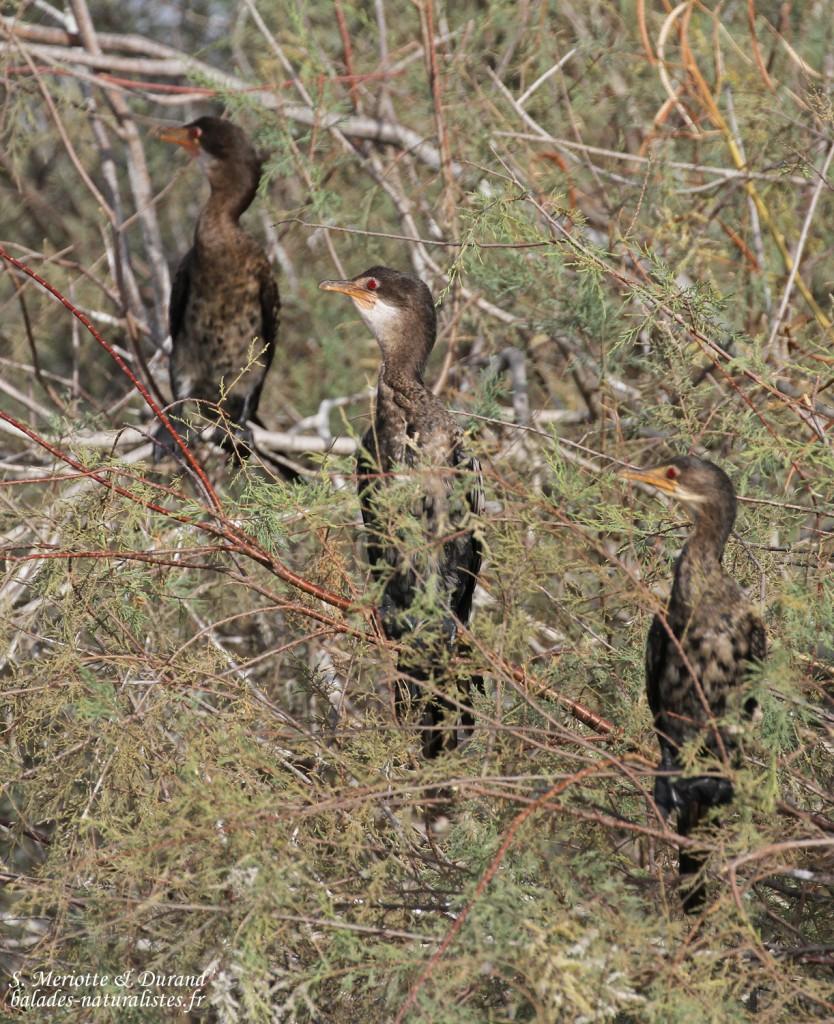 Cormorans africains, Djoudj