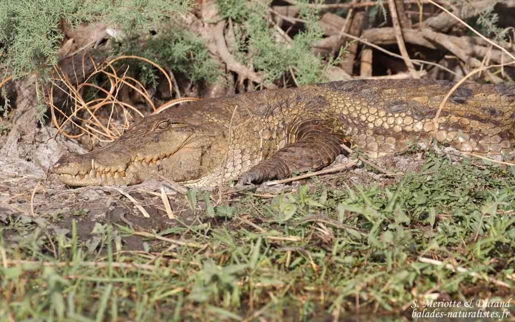 Crocodile d'Afrique de l'ouest, Djoudj