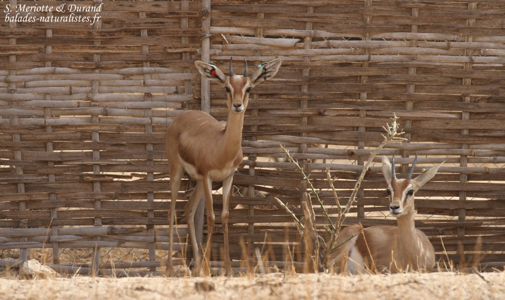 Gazelle dorcas, Réserve de Guembeul