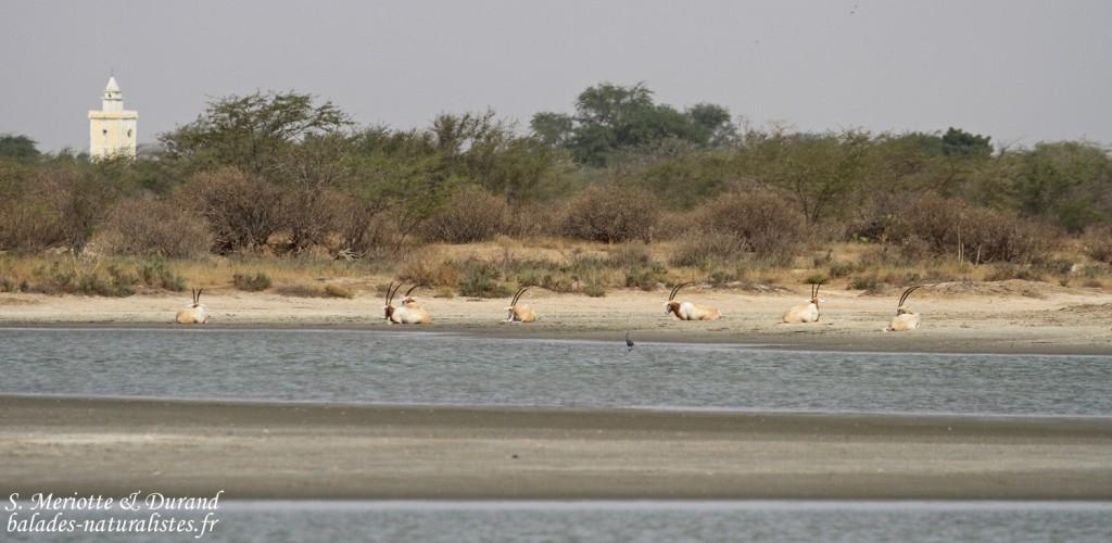 Oryx algalzelle, Réserve de Guembeul