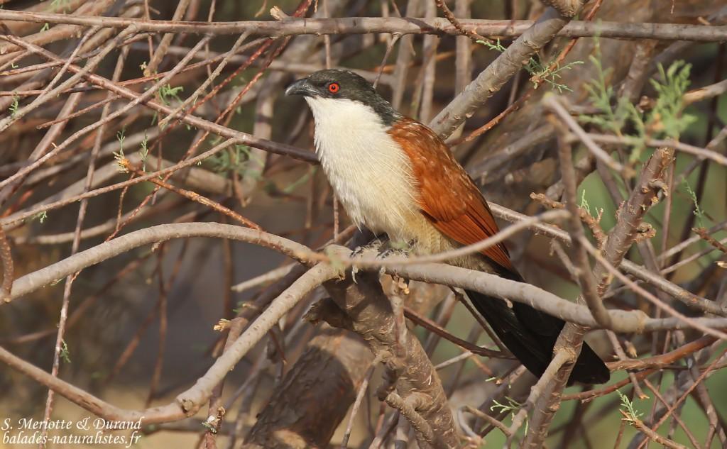 Coucal du Sénégal, Pistes près du Djoudj