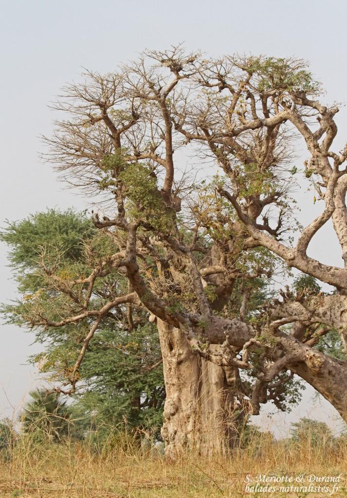 Baobabs sur la route pour Kaolack