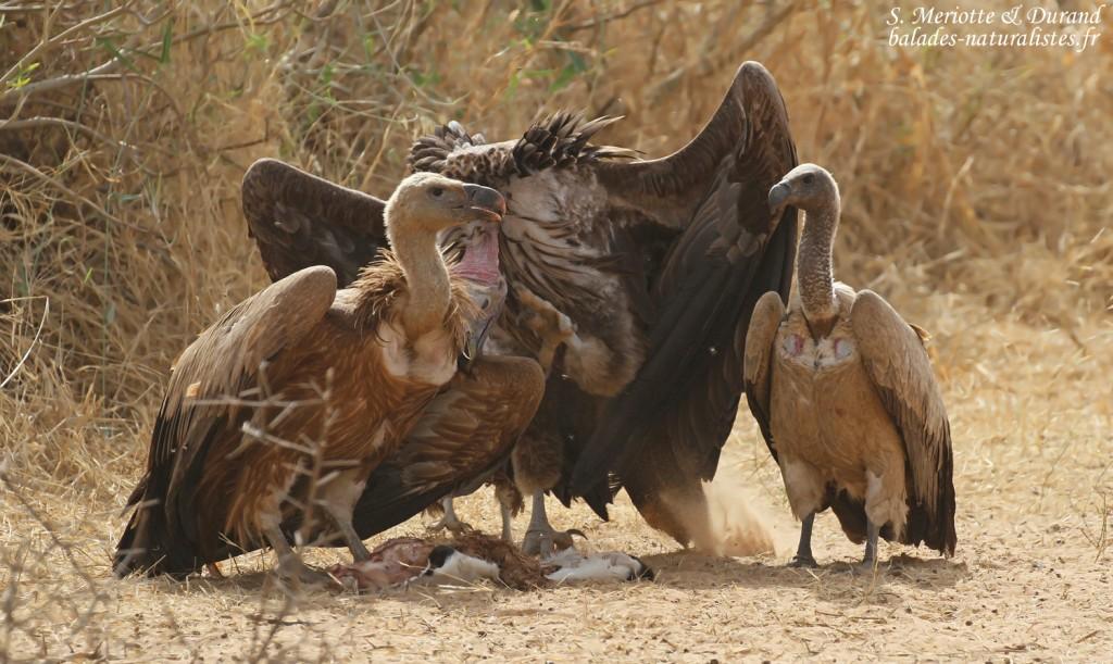 Vautours fauve, oricou et africain près de Touba