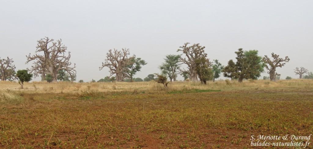 Baobabs près de kaolack