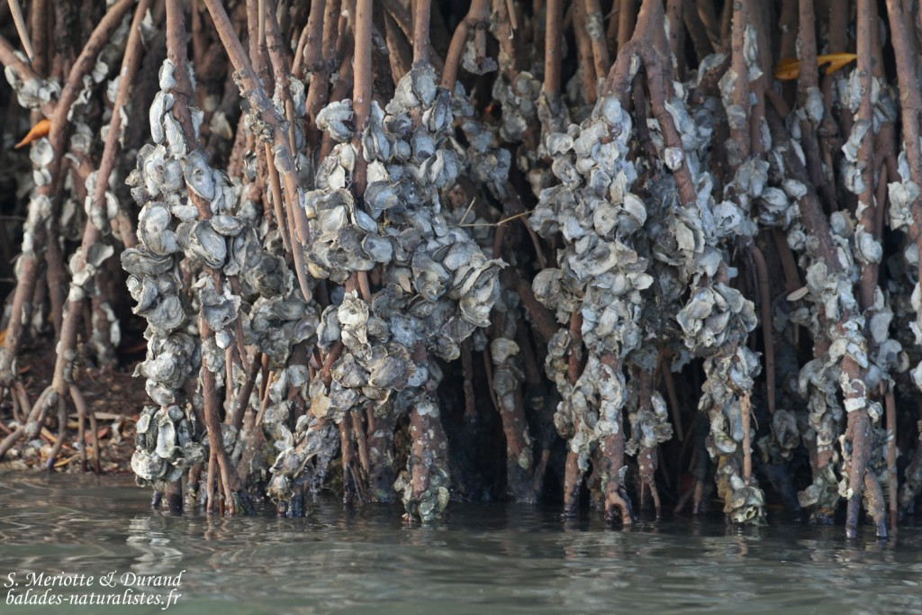 Huîtres dans le delta du Sine Saloum