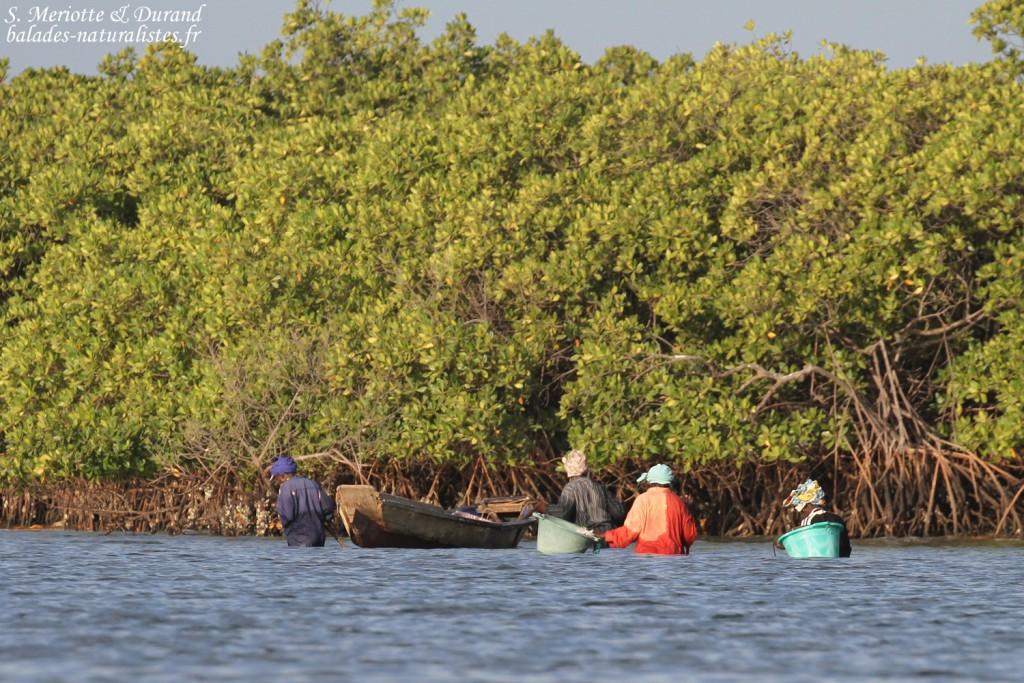 Récolte des huîtres dans le delta du Sine Saloum