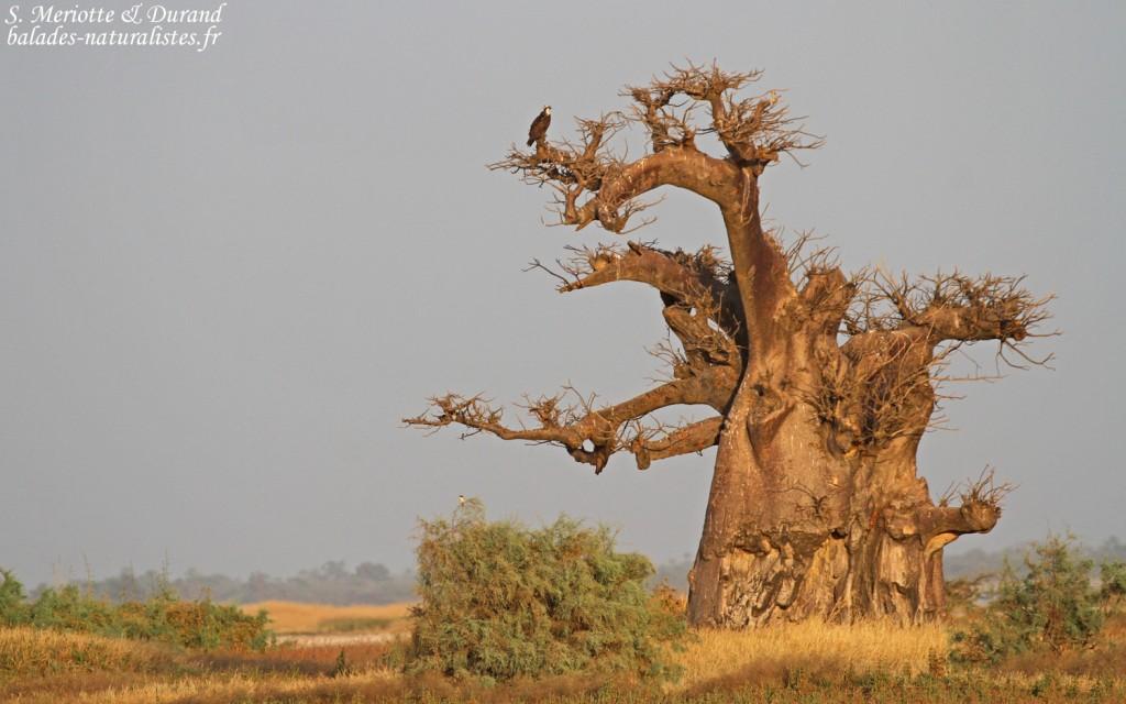 Baobab et Balbuzard pêcheur, Sine Saloum