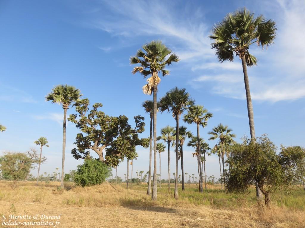 Palmiers, Sine Saloum