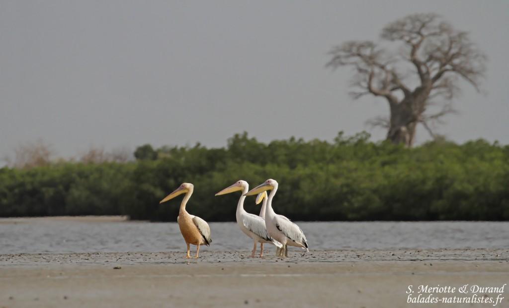 Pélicans blancs, Sine Saloum