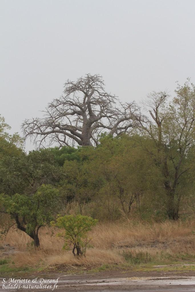 Forêt de Sangako au sud du Sine Saloum, Sénégal