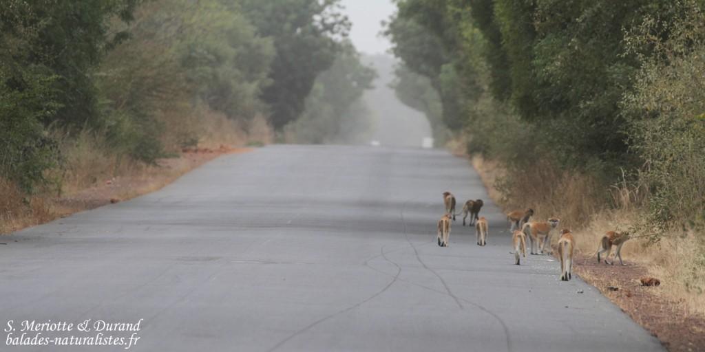 Singe patas, Forêt de Sangako au sud du Sine Saloum, Sénégal