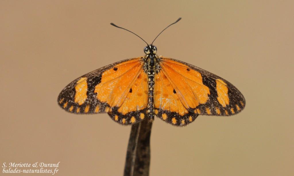 Papillon, Forêt de Sangako au sud du Sine Saloum, Sénégal