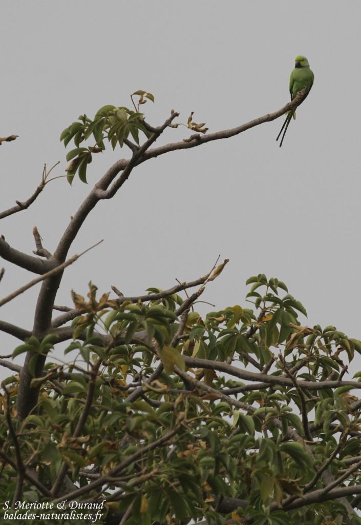 Perruche à collier Forêt de Sangako au sud du Sine Saloum, Sénégal