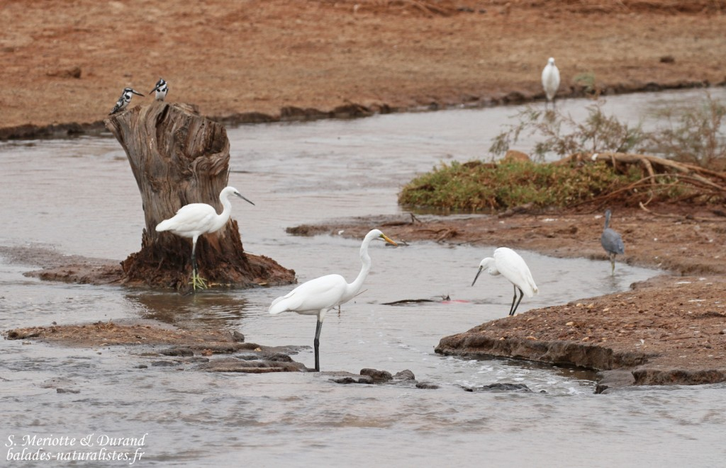 Aigrettes au sud du Sine Saloum, Sénégal