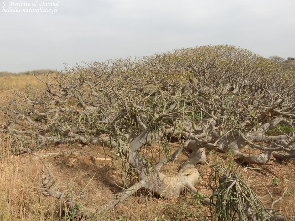 Baobab nain, Ile de la Madeleine