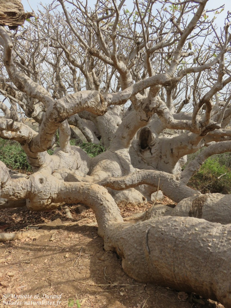 Baobab nain, Ile de la Madelein