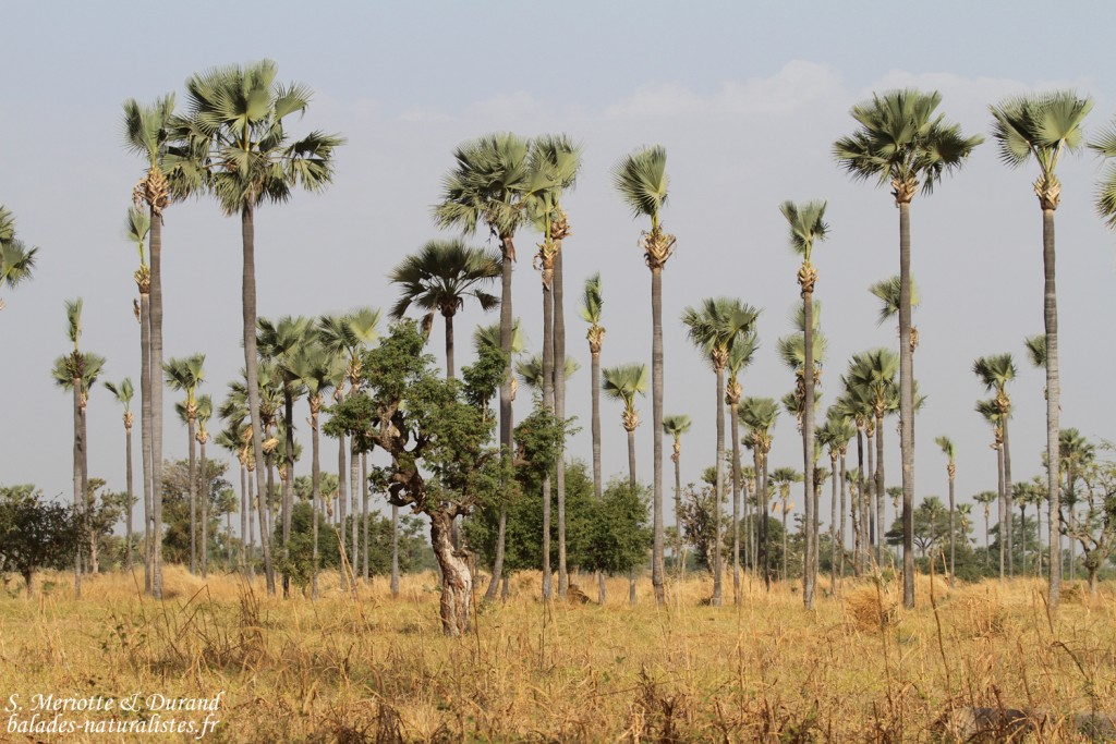 Palmiers rôniers, Sine Saloum
