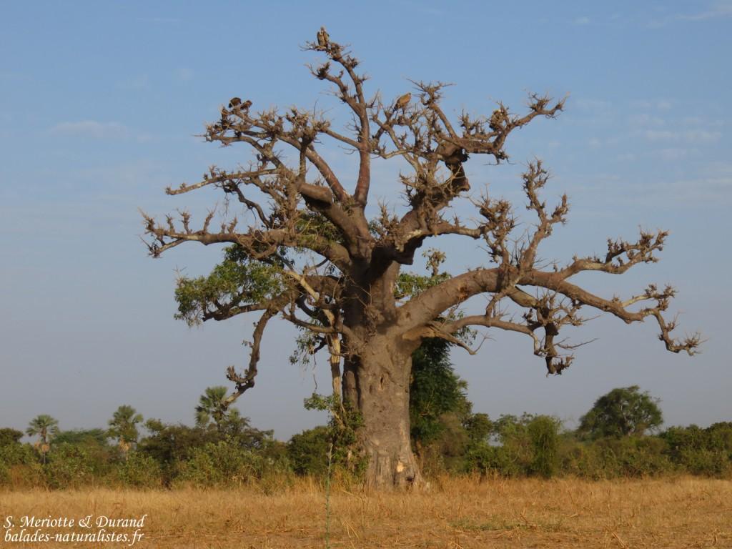 Baobab, Sine Saloum