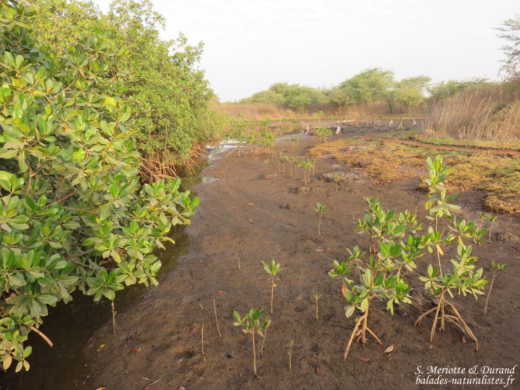 Mangrove, La Somone, Sénégal