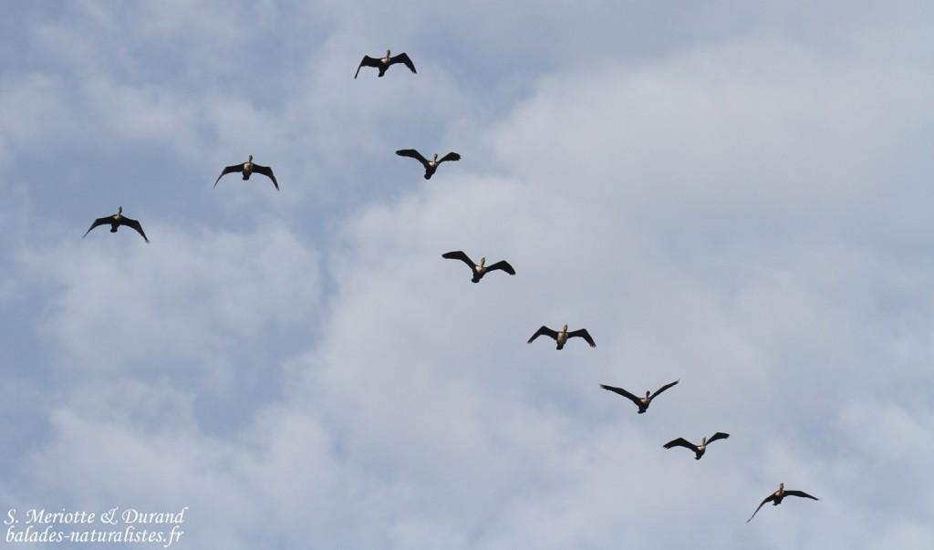 Cormorans à poitrine blanche, La Somone, Sénégal