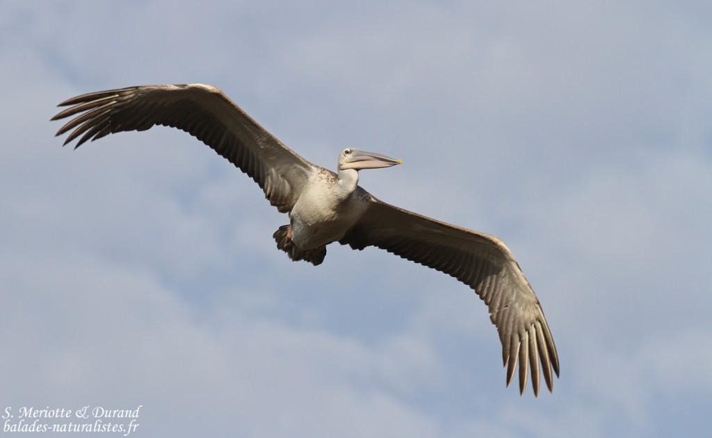 Pélican gris, La Somone, Sénégal